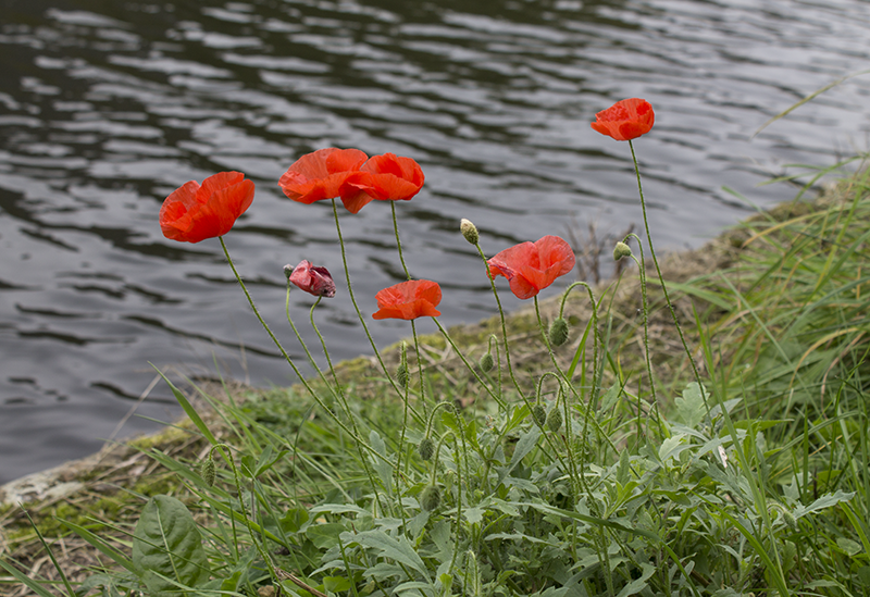 Poppies along the Liverpool to Leeds canal